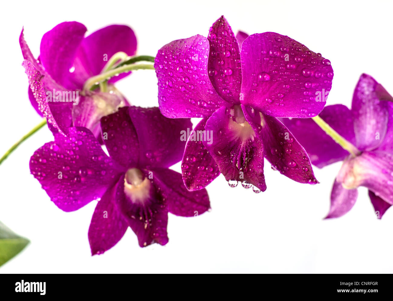 rote dendrobium orchidee in studioumgebung erschossen stockfoto bild 47845639 alamy. Black Bedroom Furniture Sets. Home Design Ideas