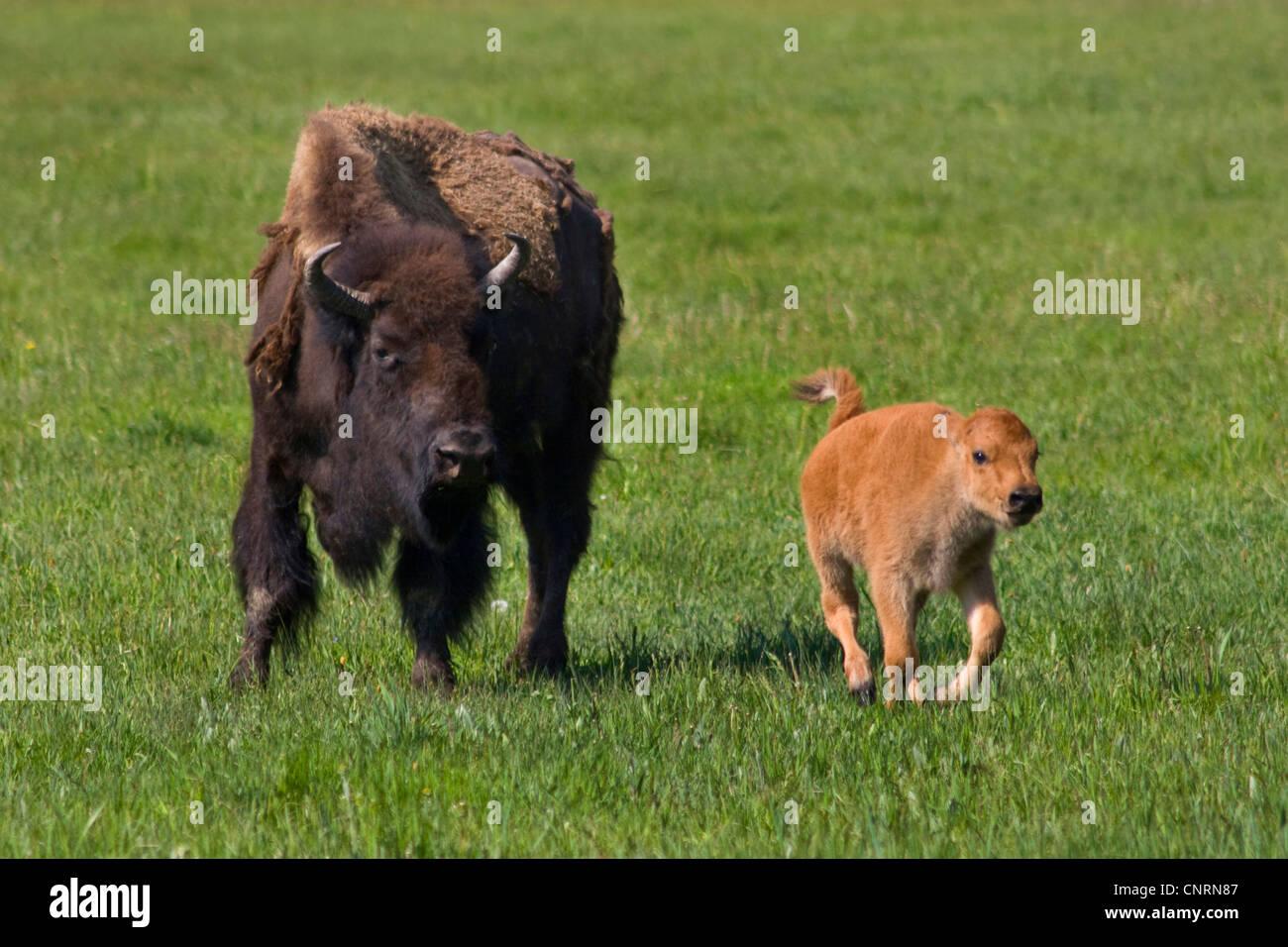 Amerikanische Bison, Büffel (Bison Bison), A BISON Kuh mit ihrem Kalb Futter fd48f3756a