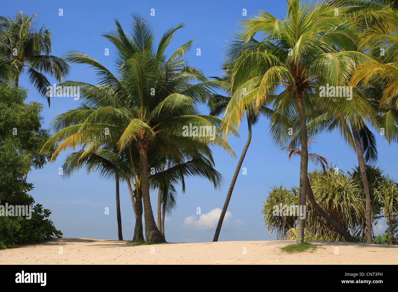Kokospalme (Cocos Nucifera), Palmen am Strand, Singapur Stockbild