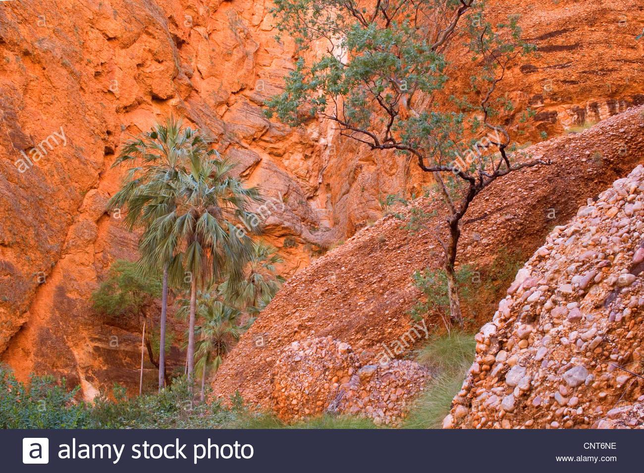 Kohlpalme (Livistona SSP.), Kohl Palmen an Mini Palms Gorge, Australia, Western Australia, Bungle Bungle Nationalpark Stockbild