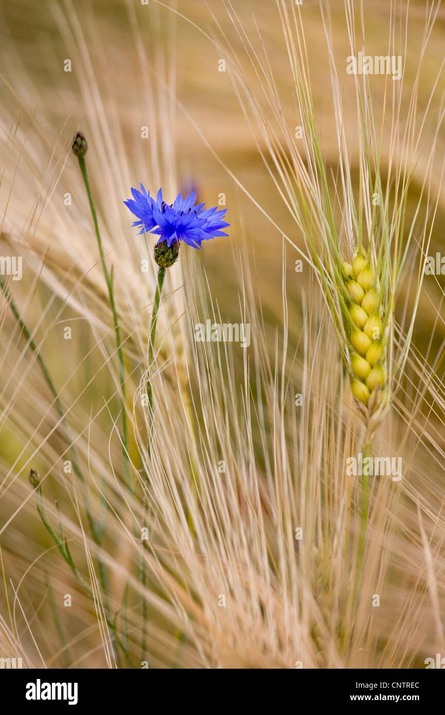 Ackerland mit Wildblumen und Unkraut wie Kornblumen (Centaurea Cyanus) unter Weizen Spitzen im Kornfeld Stockbild