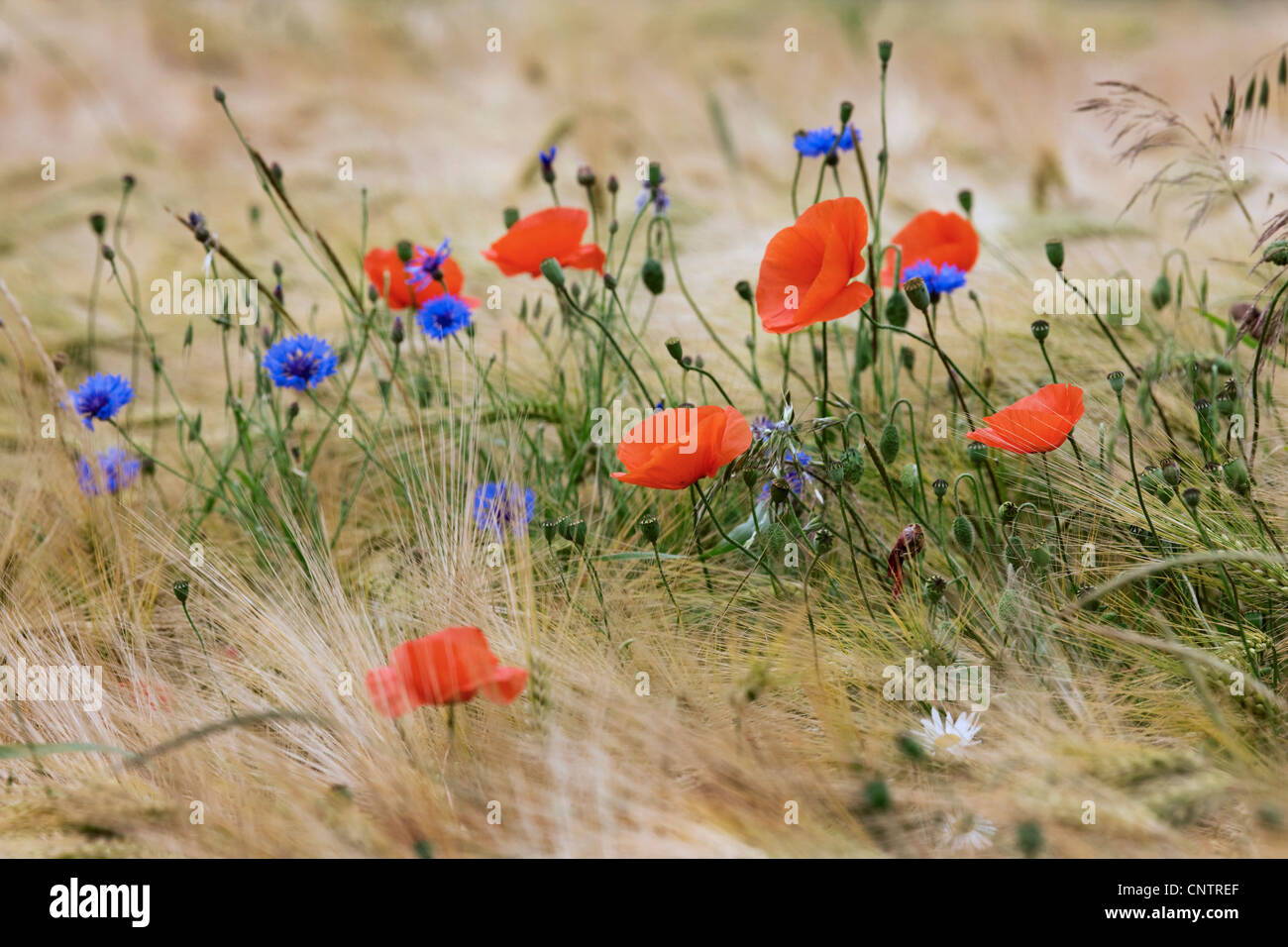 Wildblumen und Unkraut wie Kornblumen (Centaurea Cyanus) und Mohn im Kornfeld auf Ackerland Stockbild