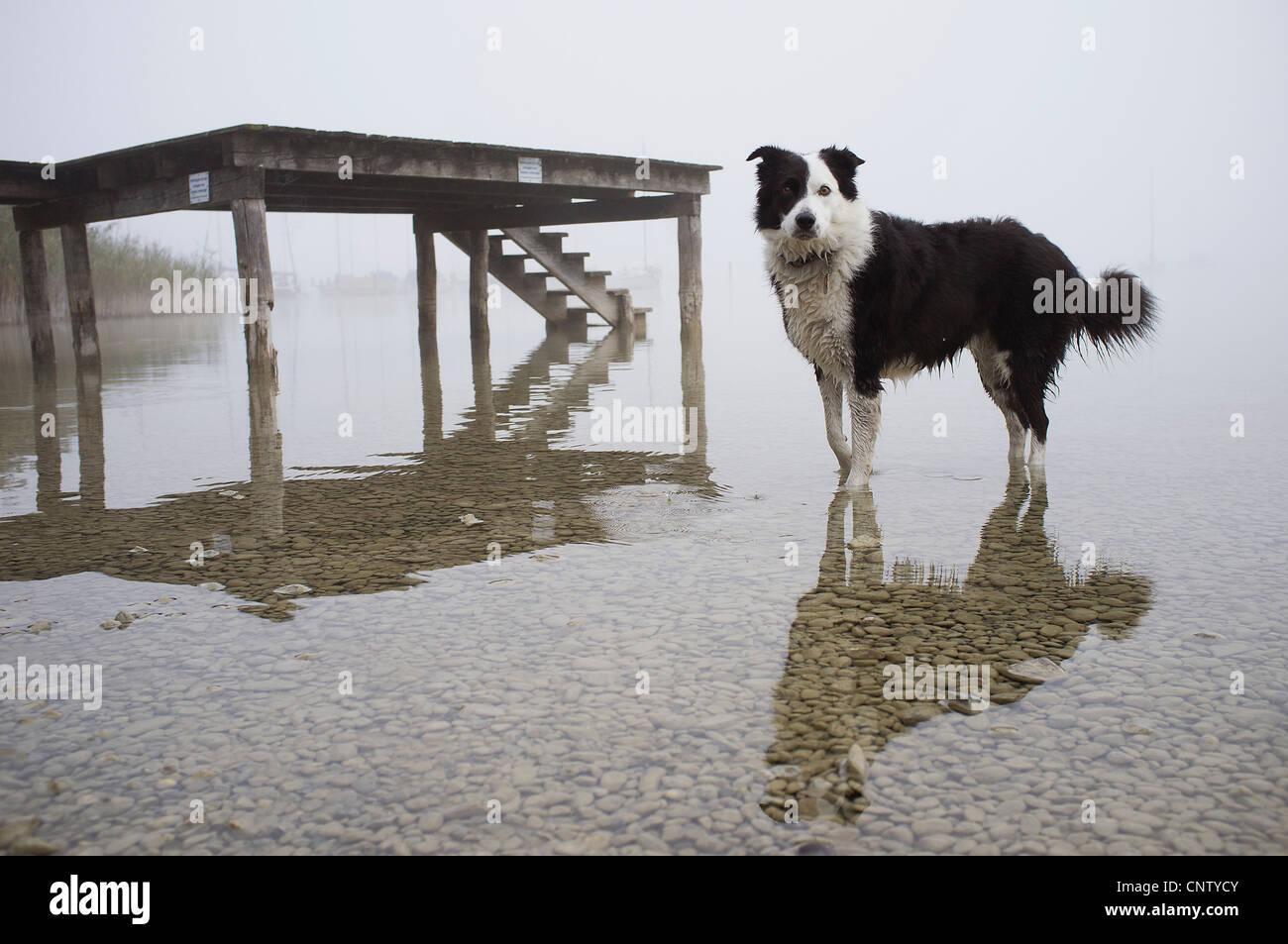Hund noch See waten Stockbild