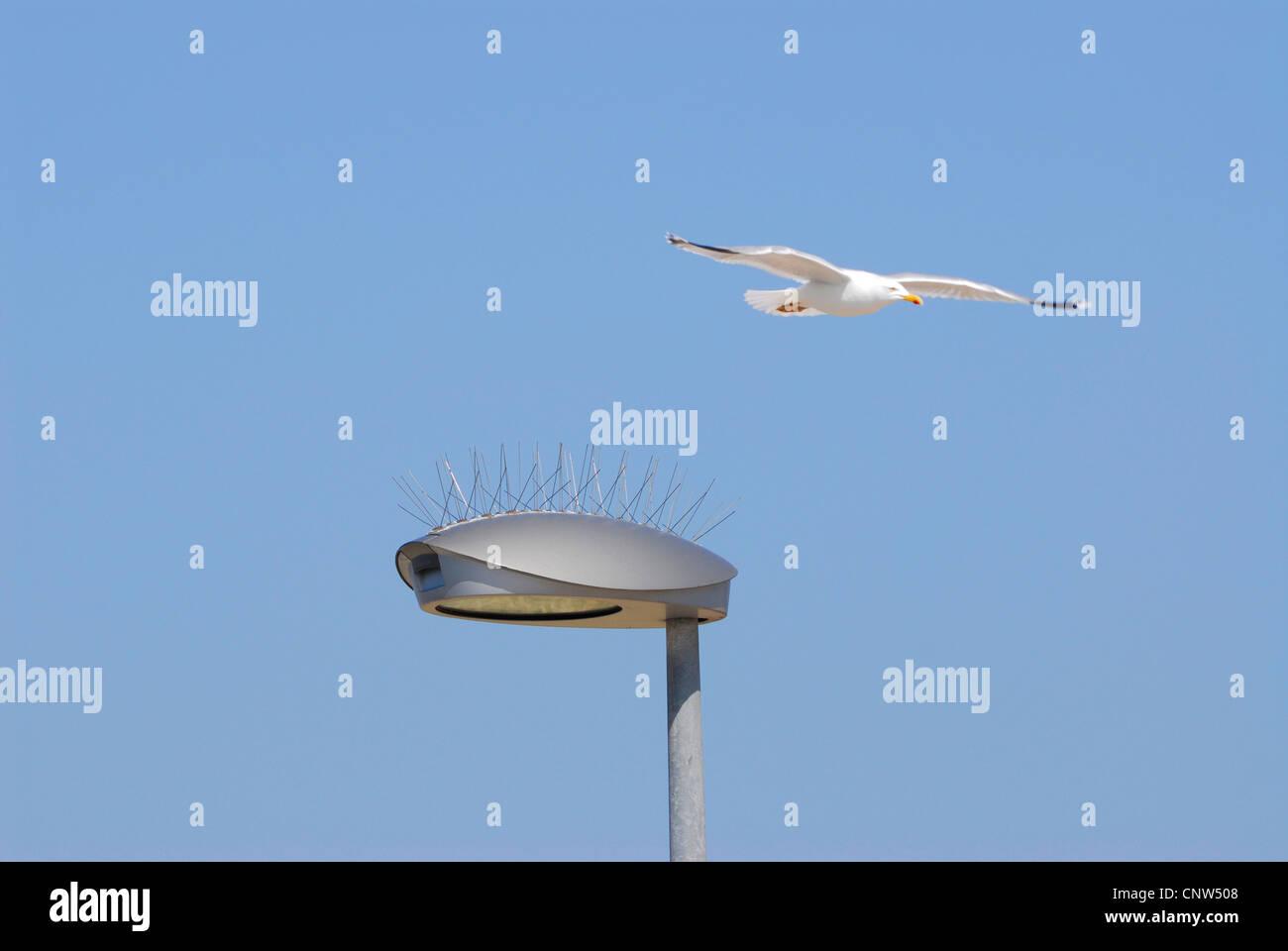Möwen (Larinae), Schutz für Vögel auf einer Straße Laterne, Deutschland, Helgoland Stockbild