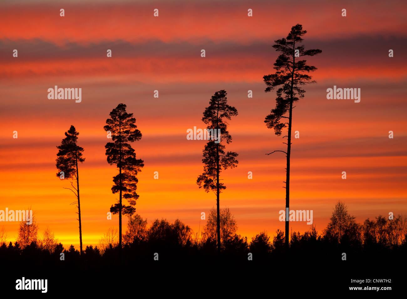 Hohen Kiefern und bunten Himmel in der Abenddämmerung in Råde Kommune, Østfold Fylke, Norwegen. Stockbild