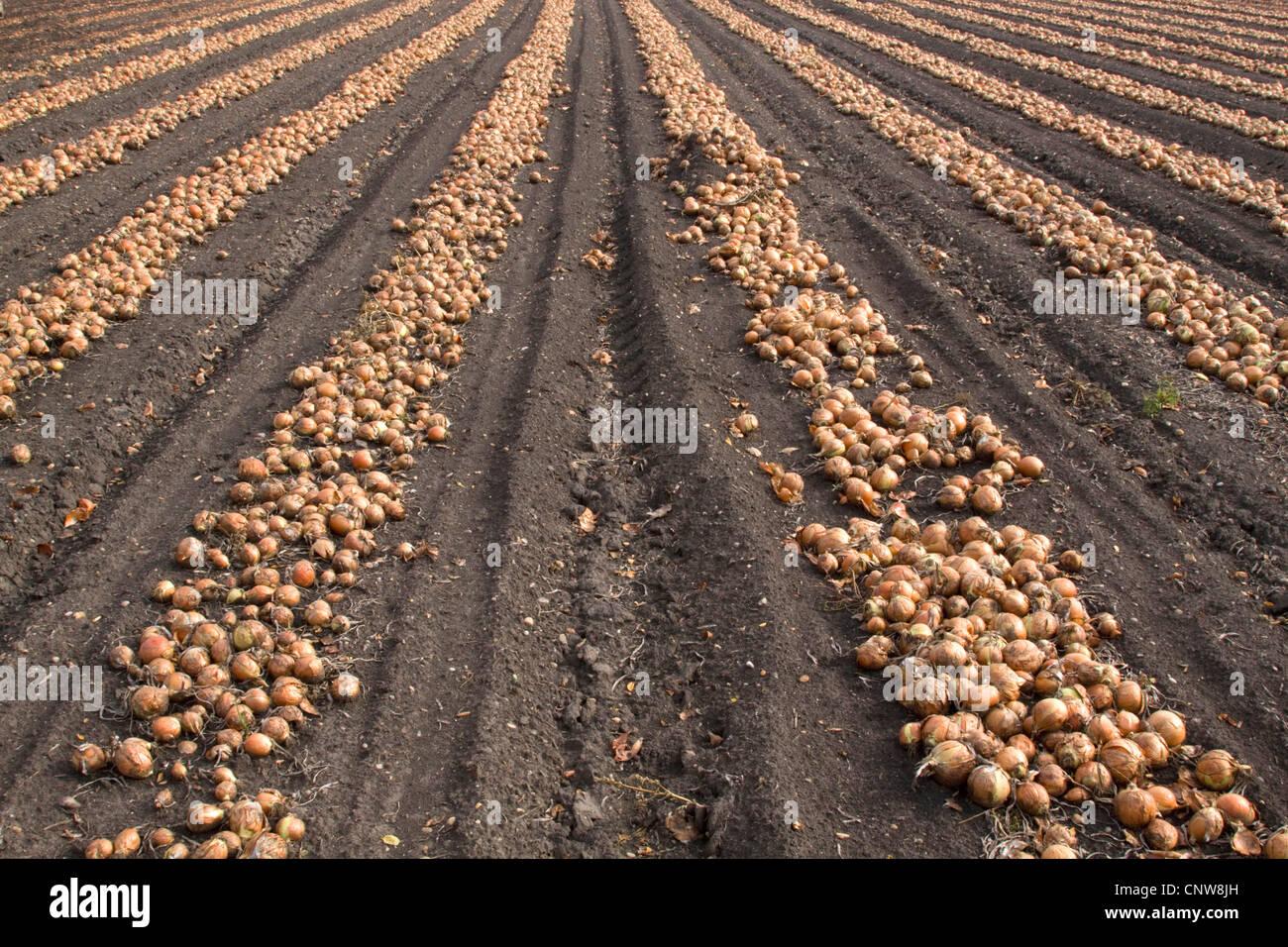 Garten-Zwiebel (Allium Cepa) geernteten Zwiebeln liegen in Reihen auf ein Feld für die Trocknung, Österreich, Stockbild