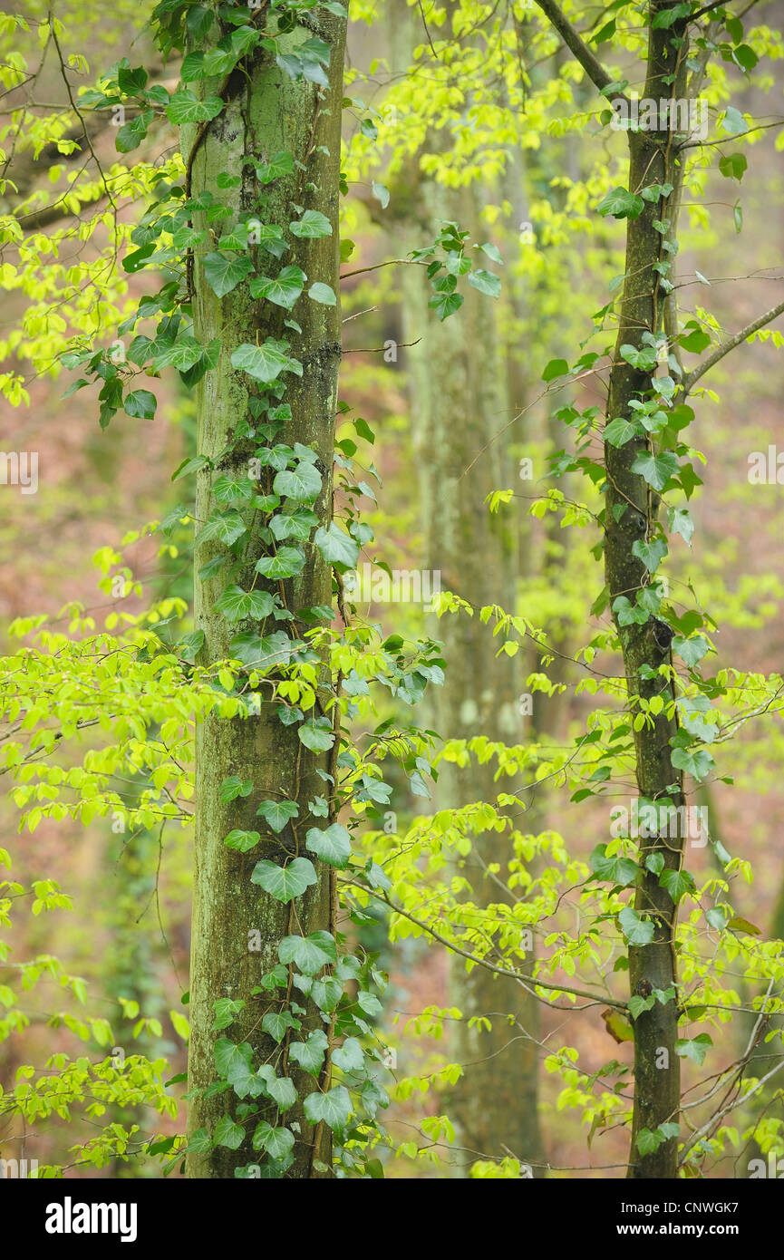 carpinus betulus hornbeam tree trunk stockfotos carpinus betulus hornbeam tree trunk bilder. Black Bedroom Furniture Sets. Home Design Ideas