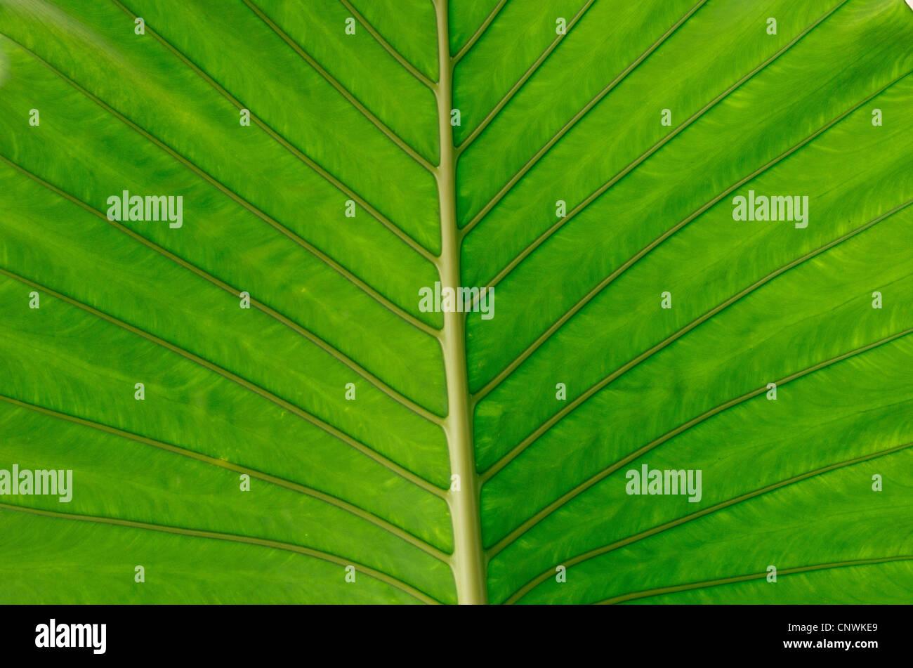 Textur von einem grünen Blatt als Hintergrund Stockbild