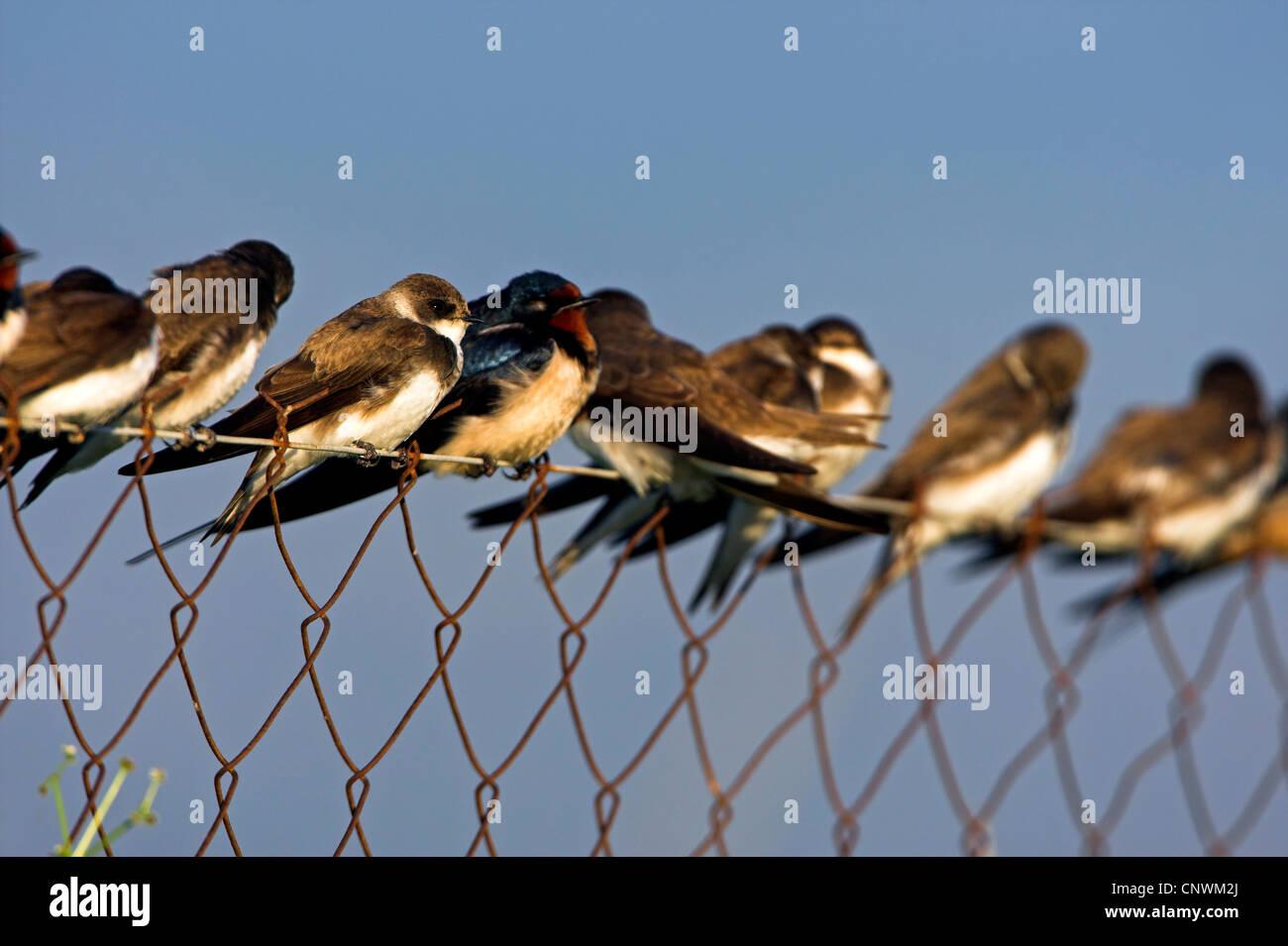 Uferschwalbe (Riparia Riparia), viele Vögel sitzen auf einem Netz ...
