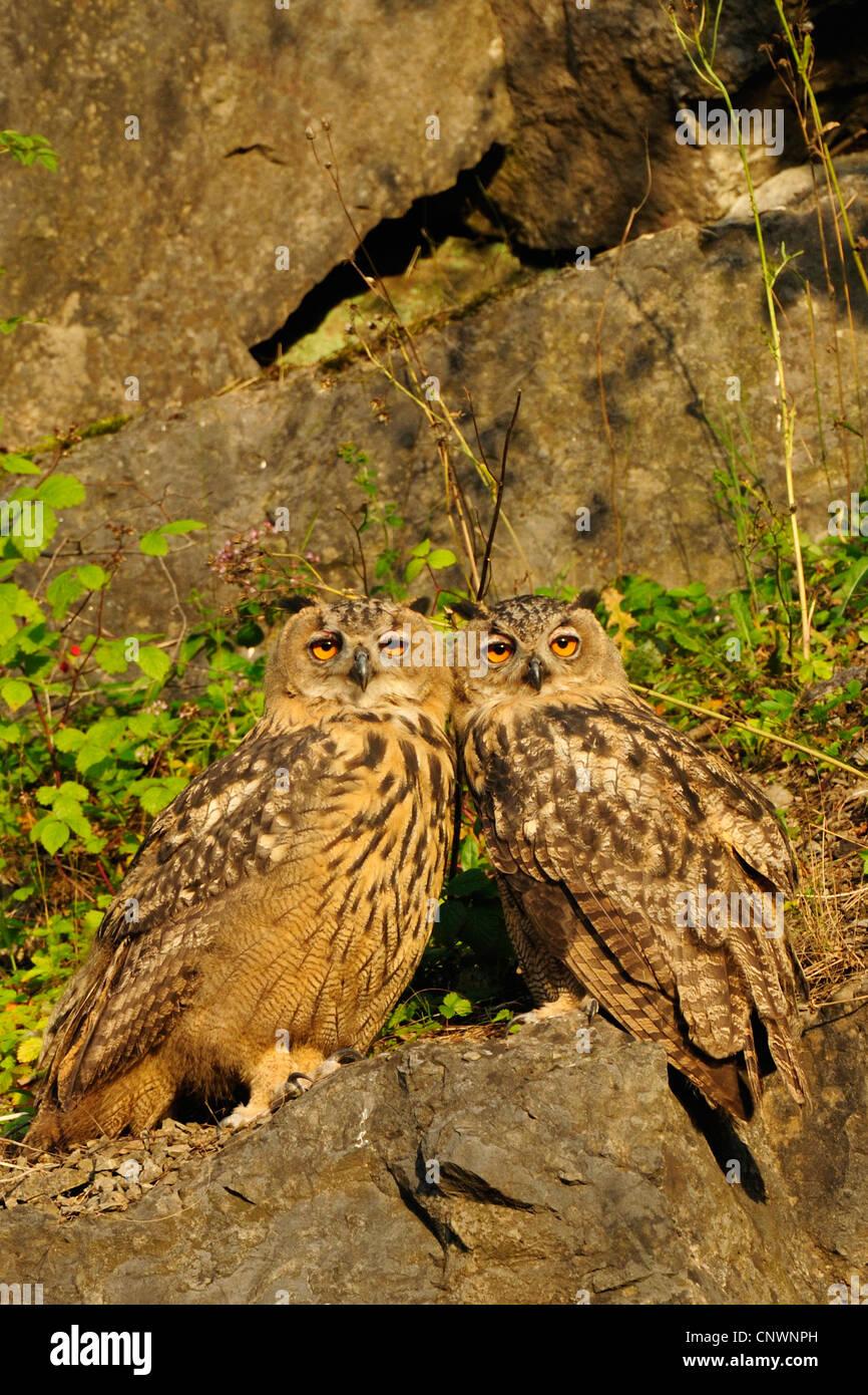 nördlichen Uhu (Bubo Bubo), Sporn zwei Jungvögel sitzen eng zusammen auf einem Felsen in der Abendsonne, Stockbild