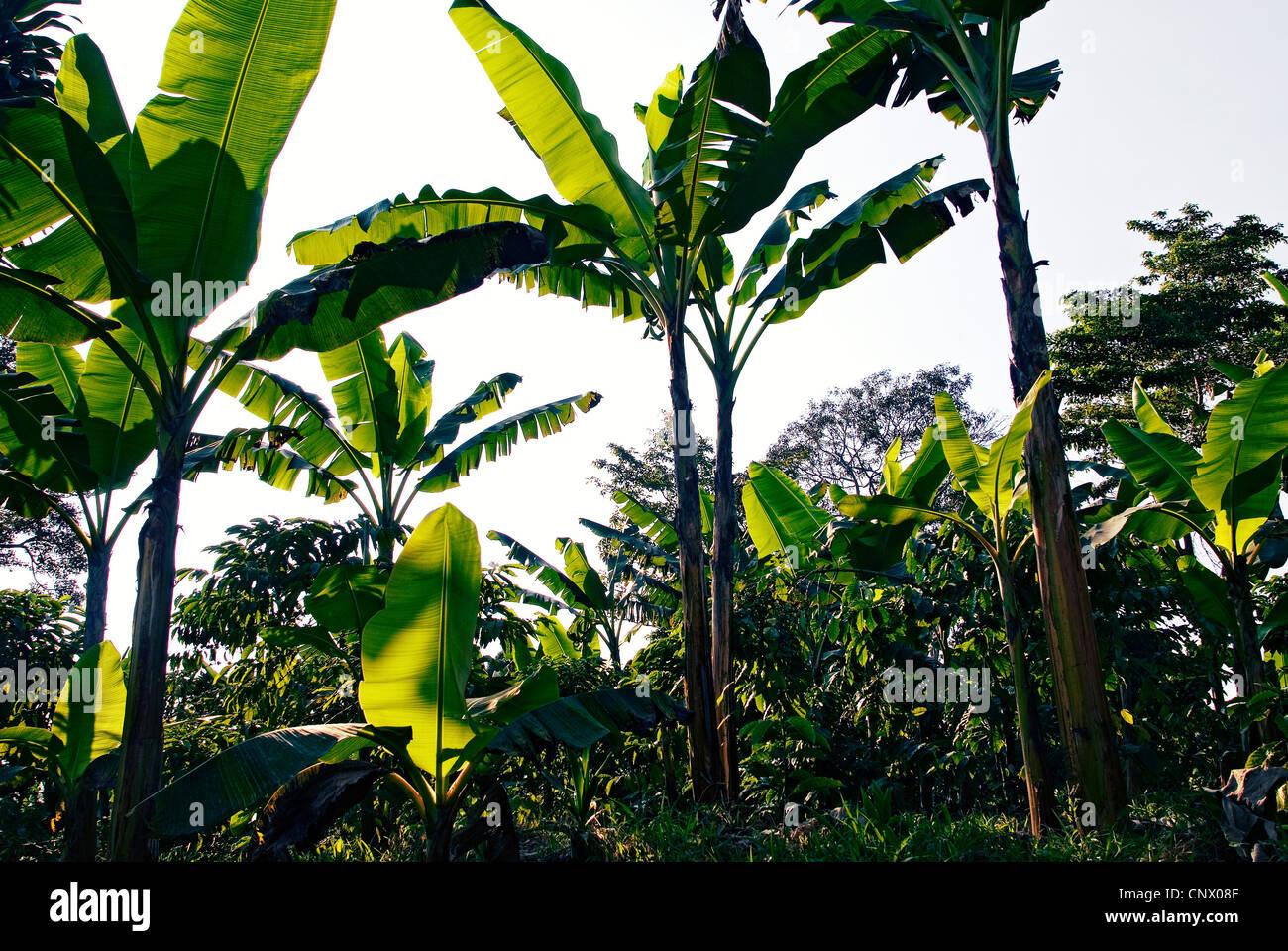 Bananenpalmen bieten Schatten für Kaffee Sträucher auf einer guatemaltekischen Kaffeeplantage. Stockbild