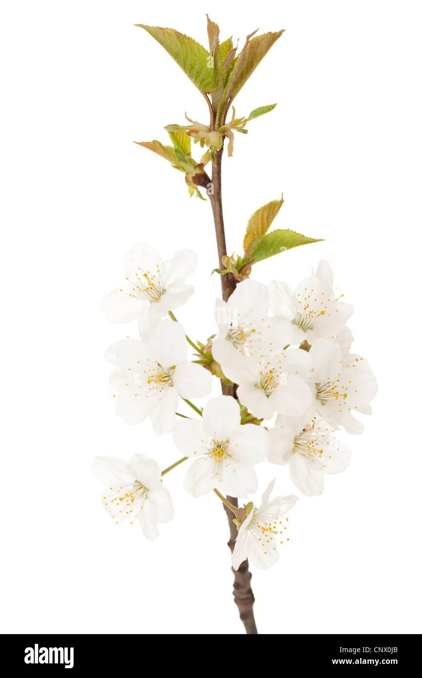 Zweig der Kirschbaum mit weiße Blume Stockbild