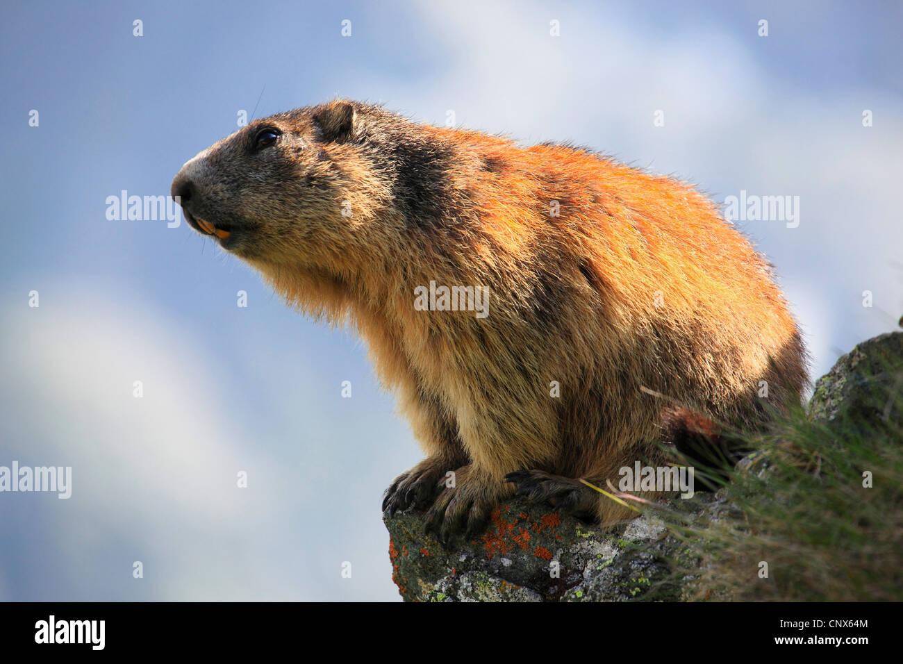 Alpine Murmeltier (Marmota Marmota), sitzt auf einem Felsvorsprung, bewachsen mit Flechten, Österreich, Nationalpark Stockbild