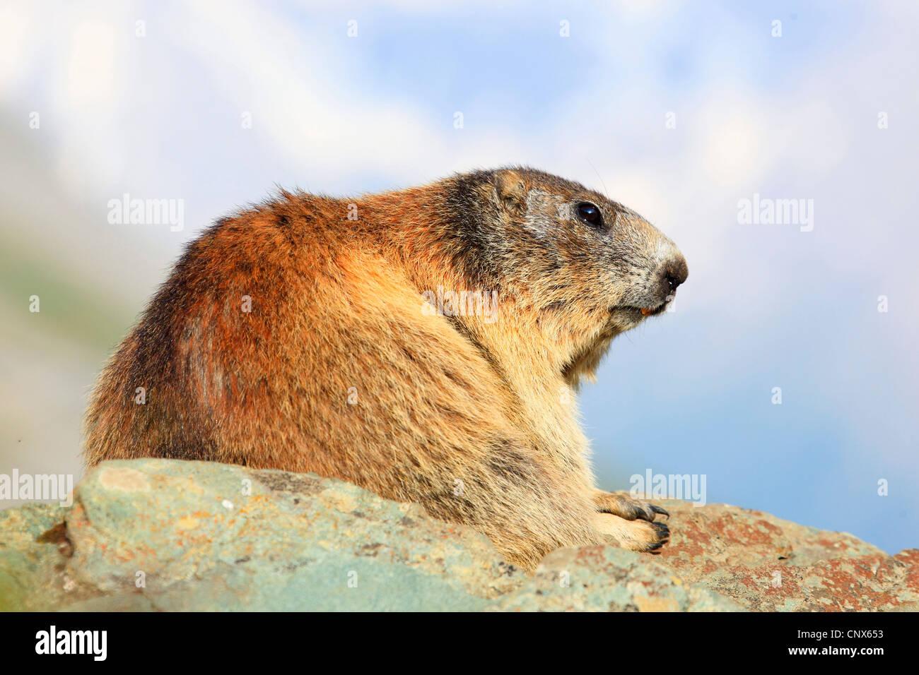 Alpine Murmeltier (Marmota Marmota), sitzt auf einem Felsen Sporn, Österreich, Nationalpark Hohe Tauern Stockbild