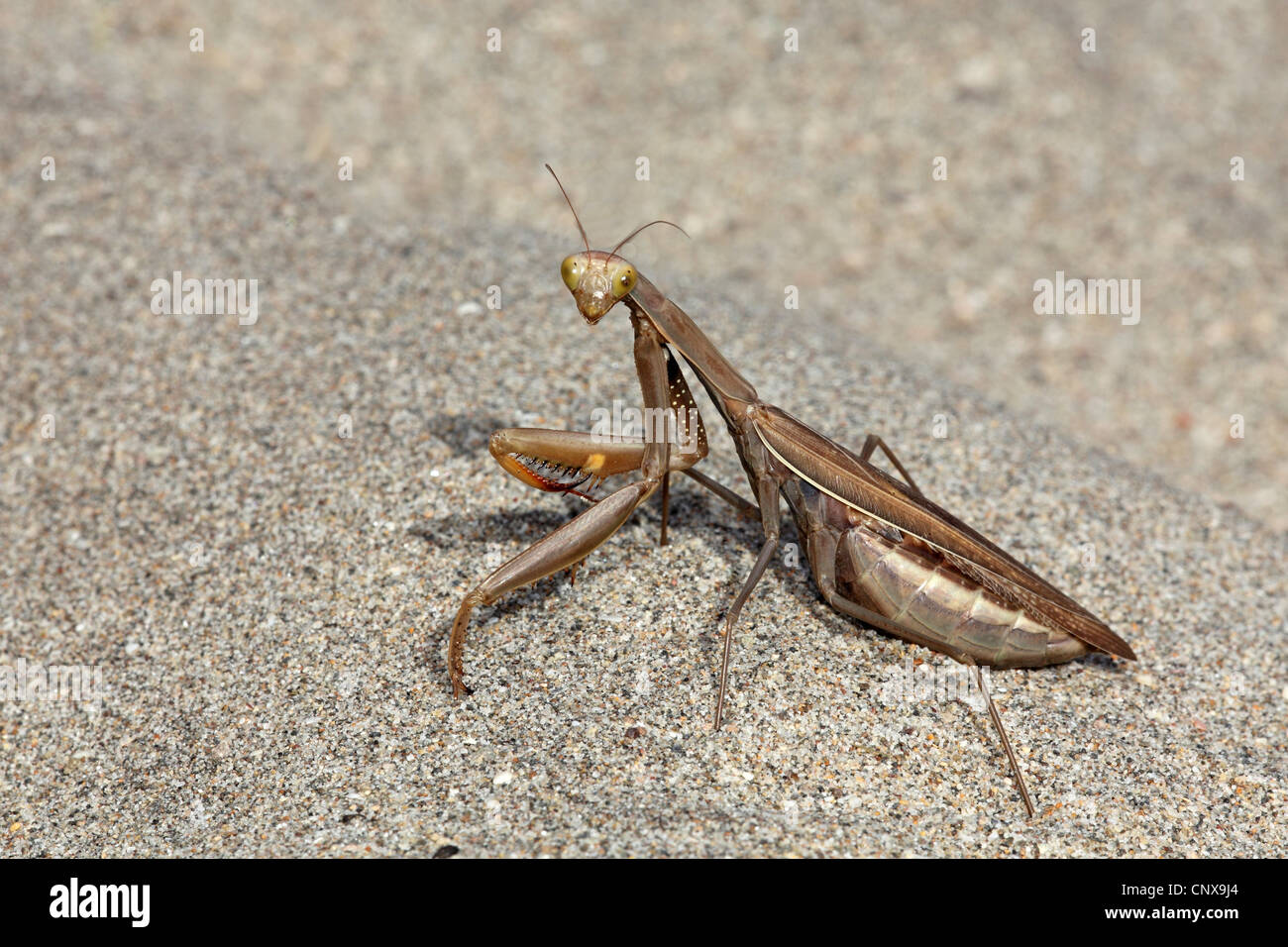Mantis (Mantodea, Mantoptera), auf Sand, Spanien, Almeria, Cabo De Gata Stockbild