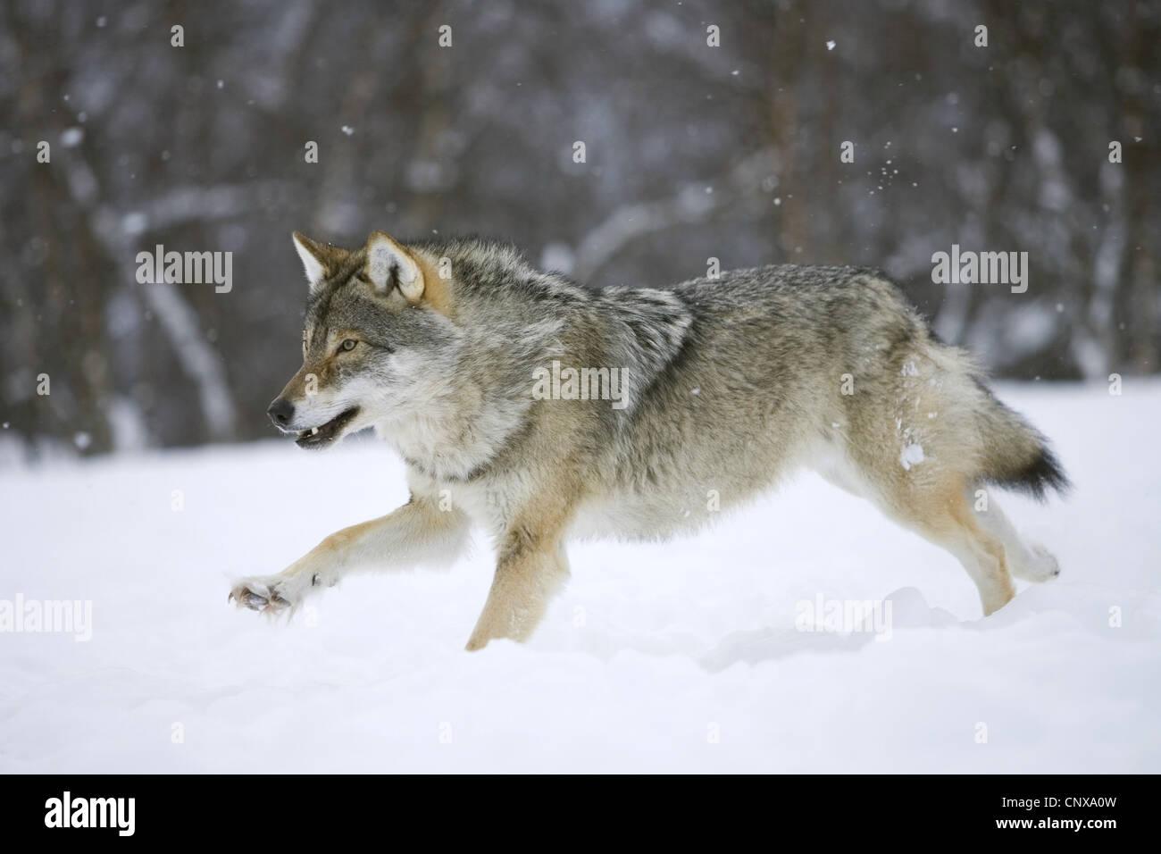 Wolf Laufen