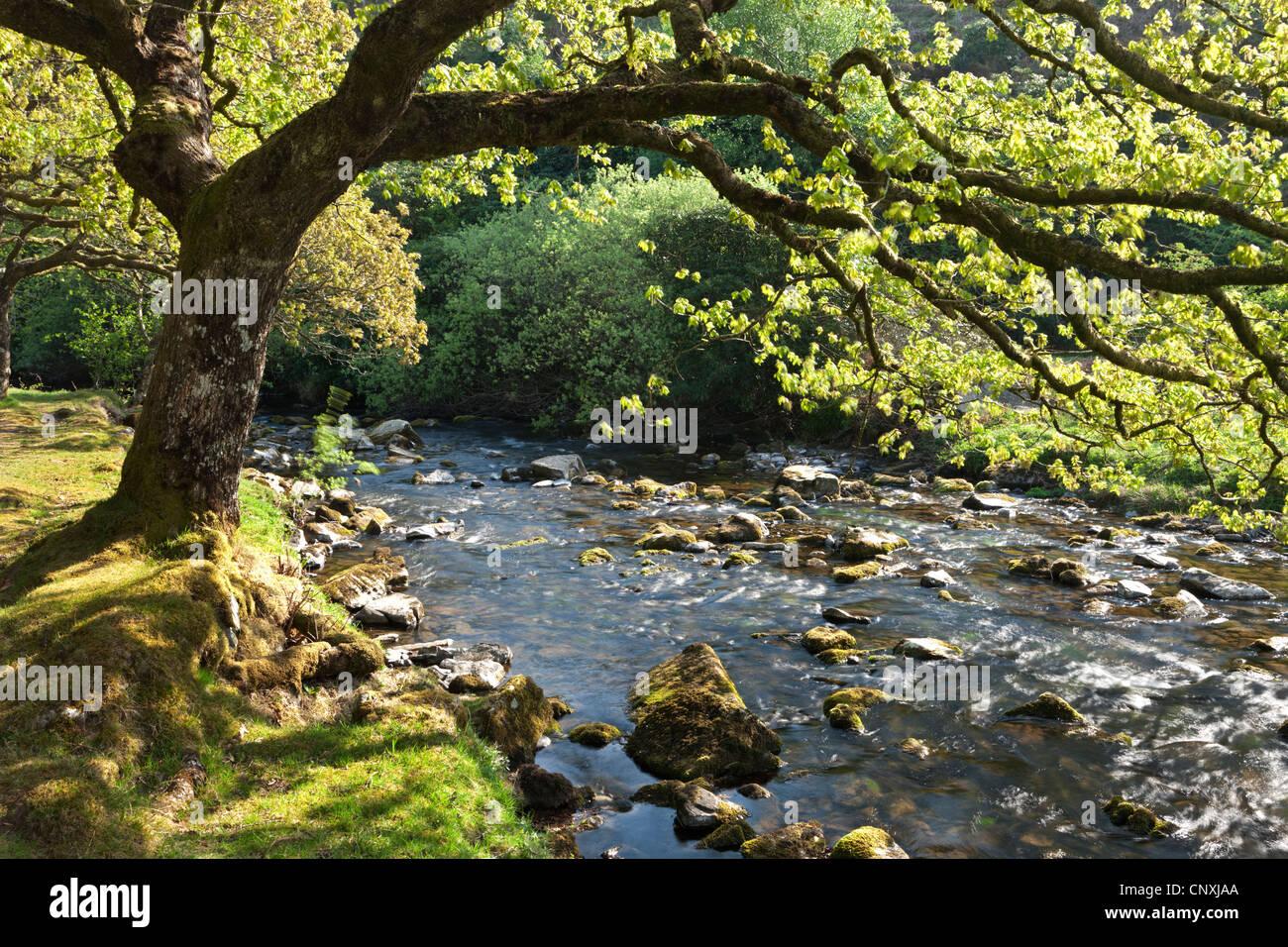 Frühling Laub an den Ufern des Badgworthy Wassers in die Doone Valley, Exmoor, Somerset, England. Frühjahr Stockbild