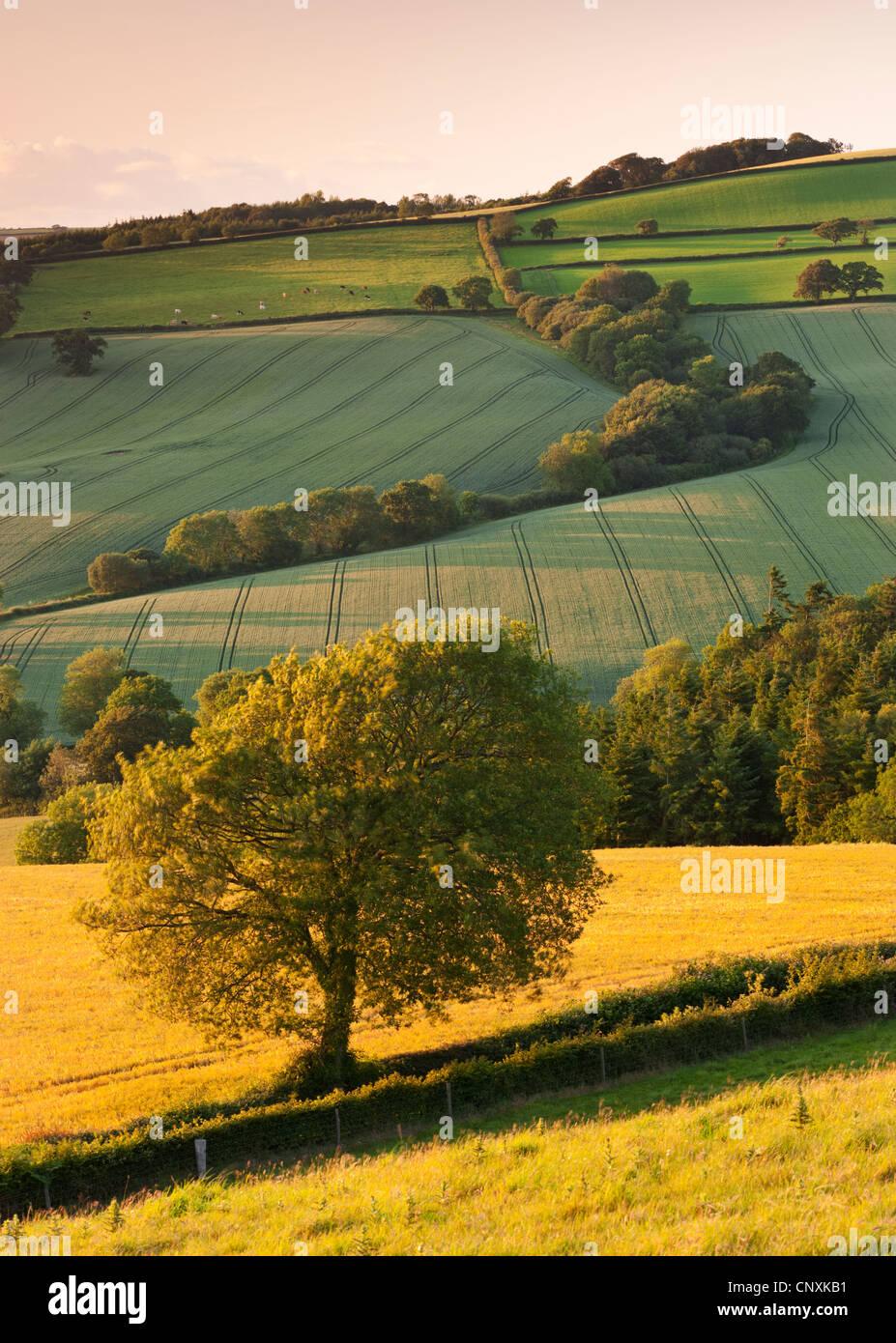 Hügelige Ackerland im Sommer, Devon, England. Sommer (Juni) 2011. Stockbild