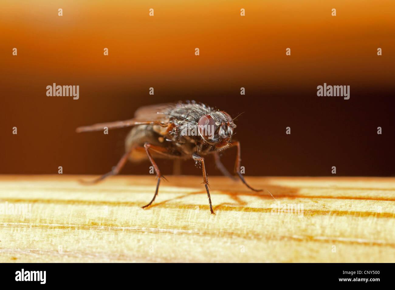 geringerem Haus fliegen (fliegen Canicularis), Makro erschossen, Deutschland, Bayern Stockbild