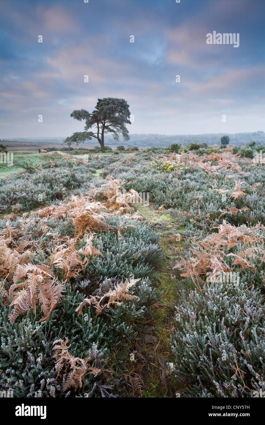 Raureif überzogen, Heidekraut, Bracken und Kiefer im New Forest National Park in Hampshire, England. Dezember Stockbild