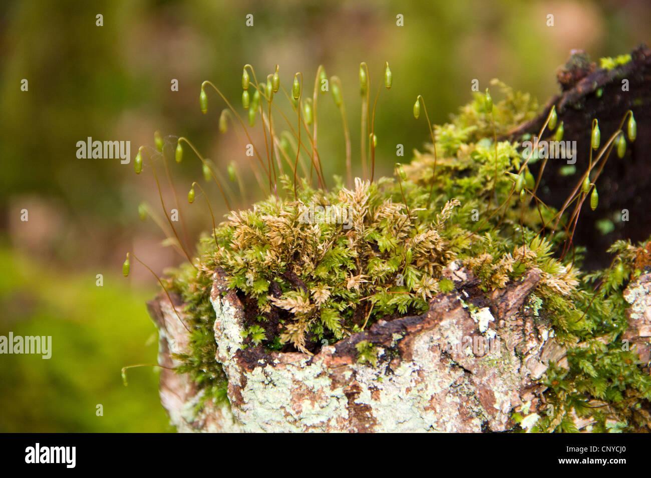 moos pflanzen mit spore kapseln in holz von cree in galloway schottland stockfoto bild. Black Bedroom Furniture Sets. Home Design Ideas