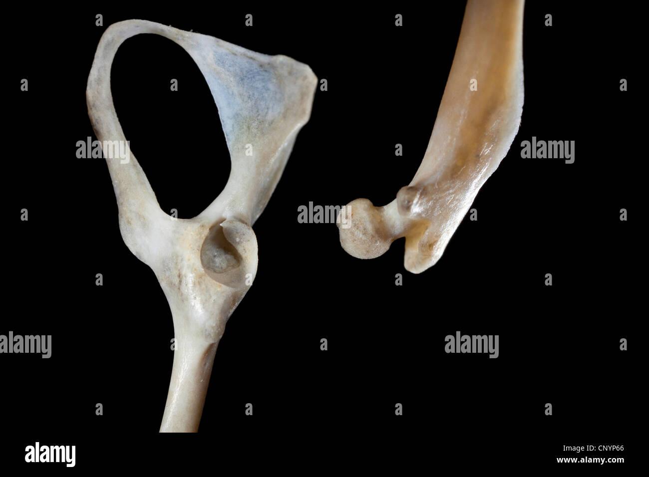 Schleiereule (Tyto Alba), Becken- und Oberschenkelknochen einer Maus, unverdaute Nahrungsreste aus einem pellet Stockbild