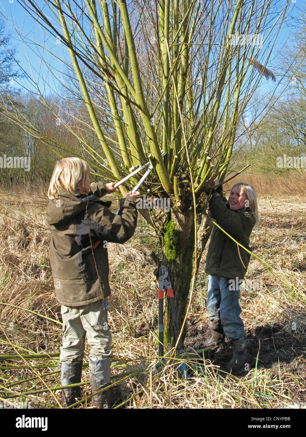Weide Korbweide Salix Spec Zwei Jungen Schneiden Verfing Weide