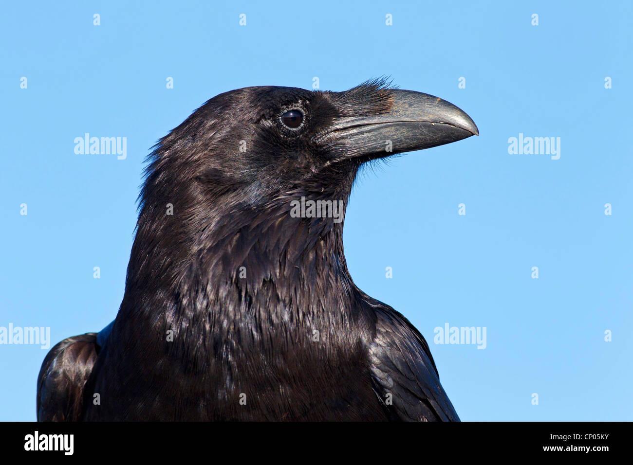 Kanarischen Inseln Raven, Kanarischen Raven (Corvus Corax Tingitanus, Corvus Tingitanus), Porträt, Kanarische Inseln, Stockfoto