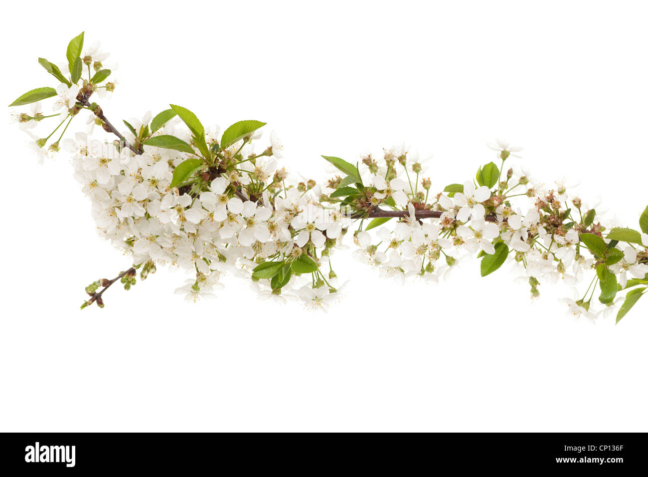 Kirsche Zweig mit Blumen auf weißem Hintergrund Stockbild