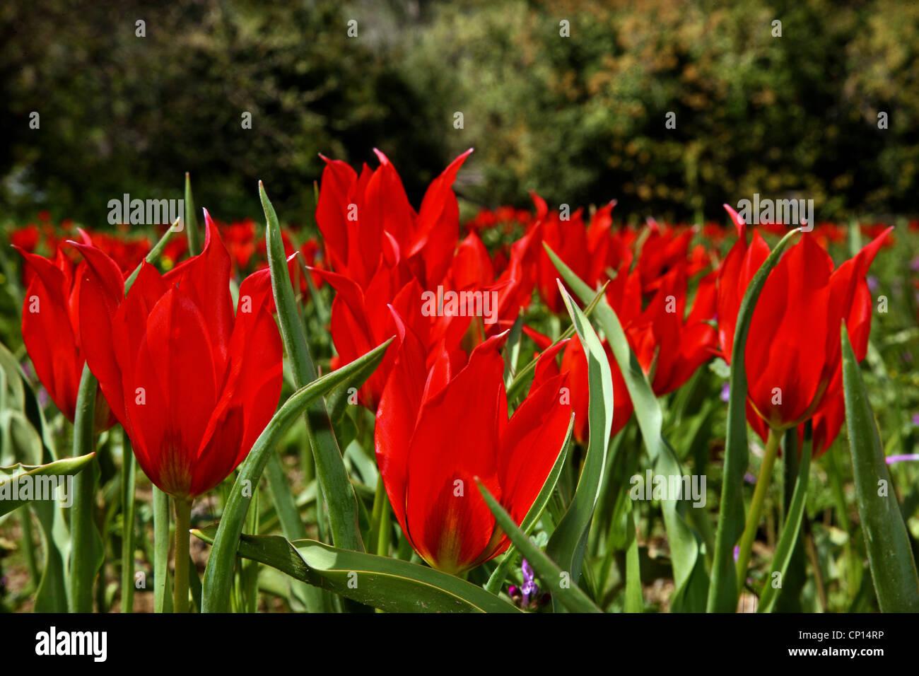 """Schöne Tulpen von Chios Insel, genannt """"Lalades"""" von den Einheimischen. Nordöstliche Ägäis, Stockbild"""