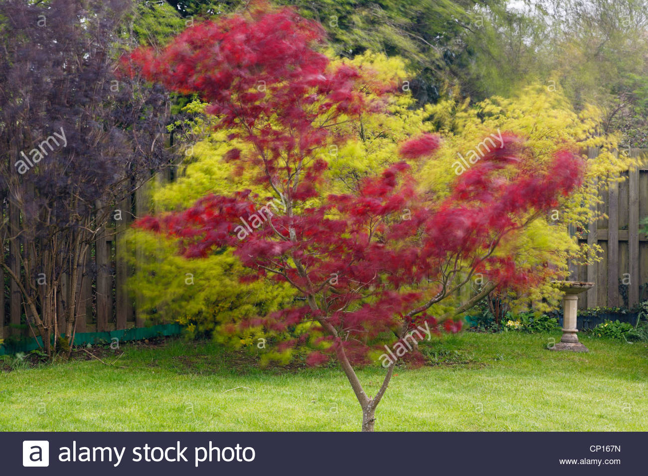roter japanischer ahorn baum acer palmatum 39 atropurpureum 39 blowing in the wind in einem garten. Black Bedroom Furniture Sets. Home Design Ideas