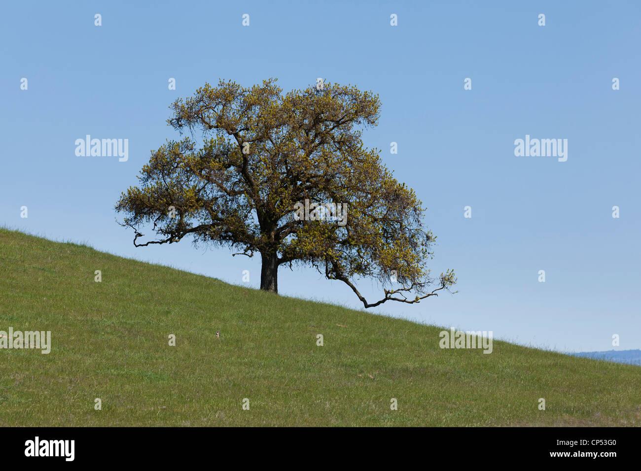 Ein einsamer Baum auf einem steilen Hügel Stockbild