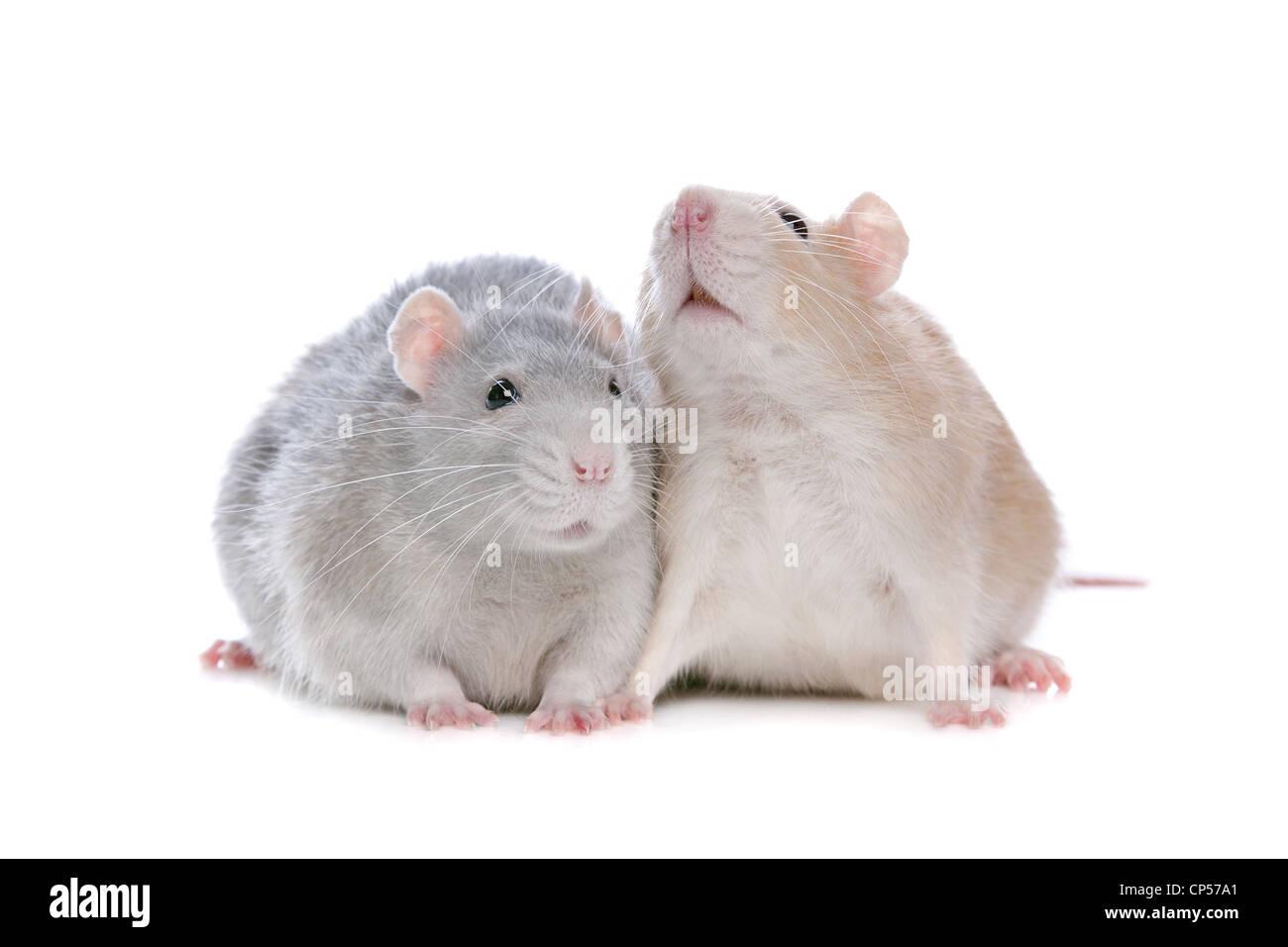 zwei Ratten vor einem weißen Hintergrund Stockbild