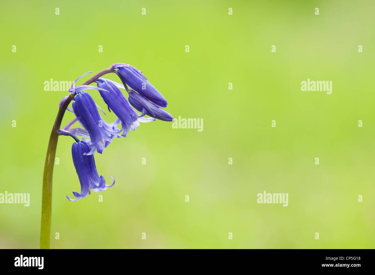 Hyacinthoides non Scripta. BLUEBELL Blume in einem englischen Waldgebiet Stockbild