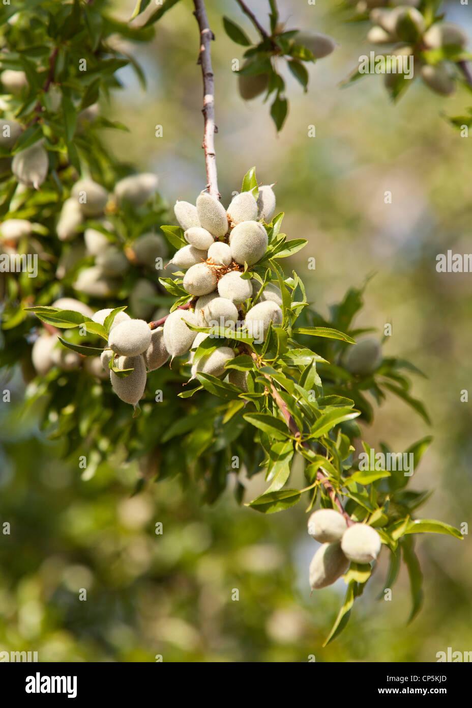 Mandelfrüchte auf Ast Stockbild