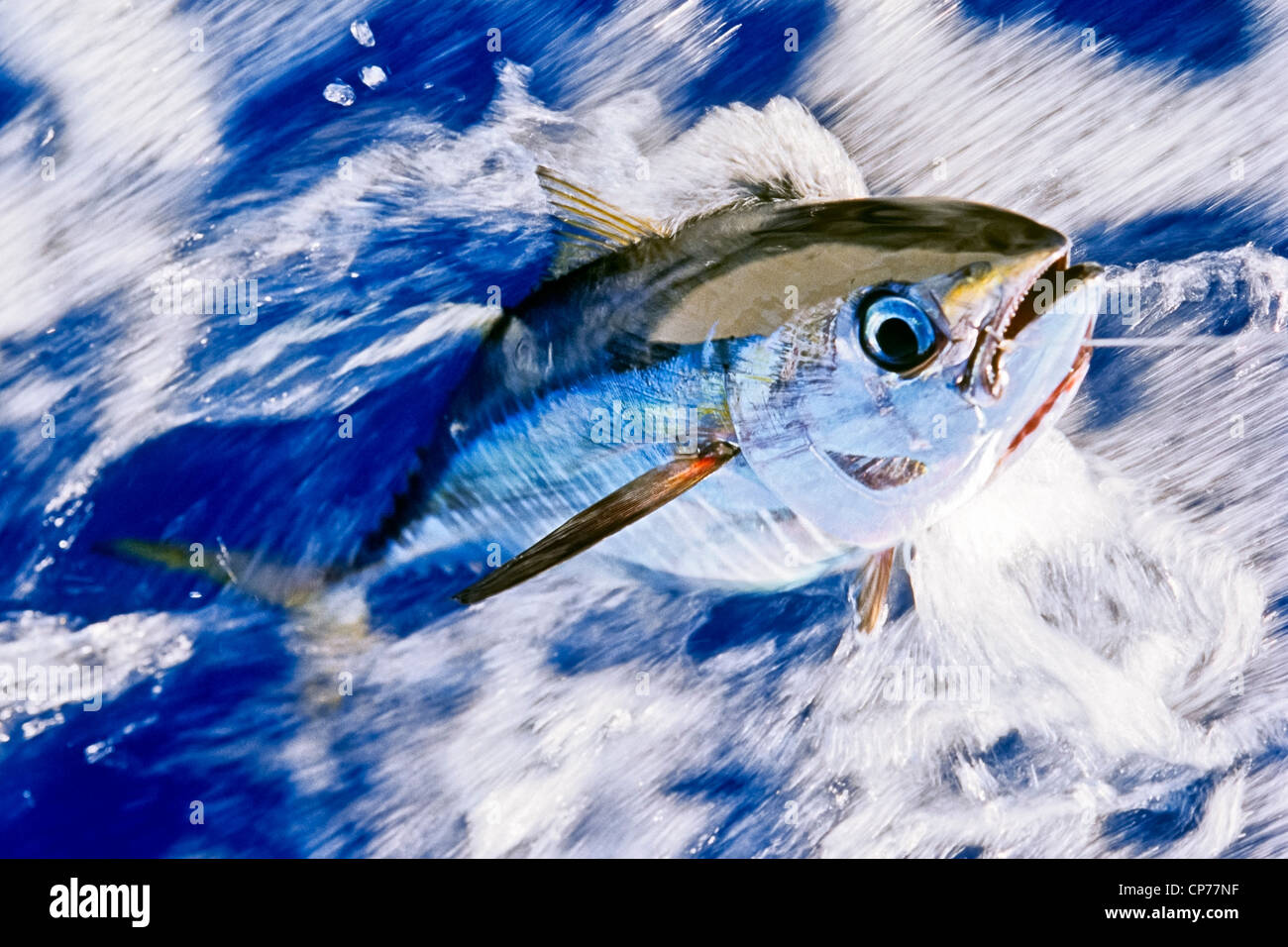 Juvenile Gelbflossenthun auf Linie Stockbild