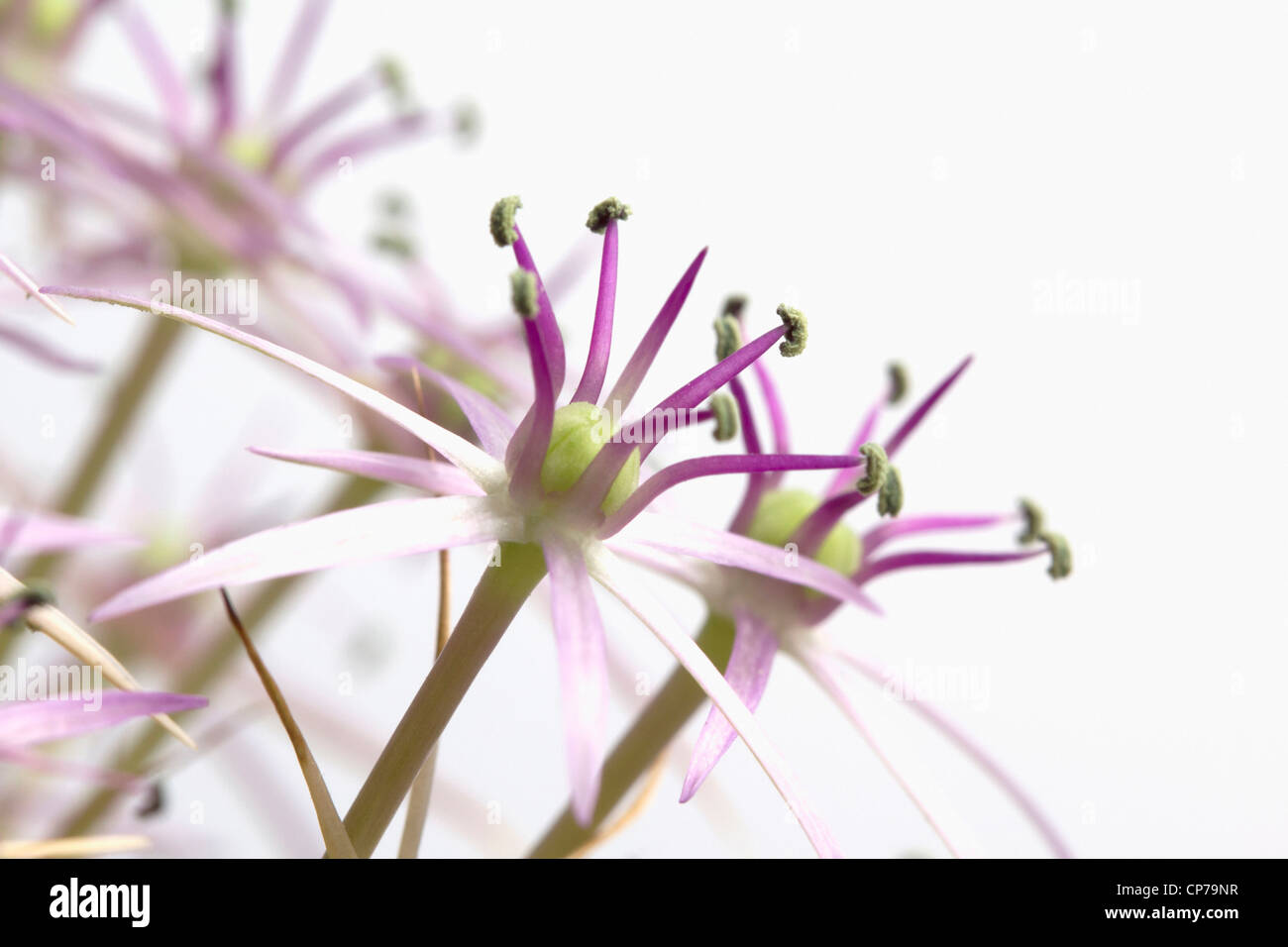 Allium Christophii, Allium, lila, weiss. Stockbild