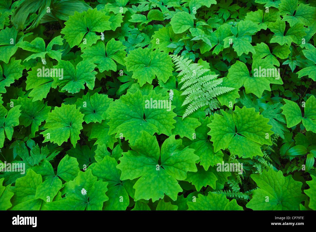 Faszinierend Grüne Pflanzen Galerie Von Grüne Auf Dem Waldboden, Mount-rainier-nationalpark, Washington, Usa.