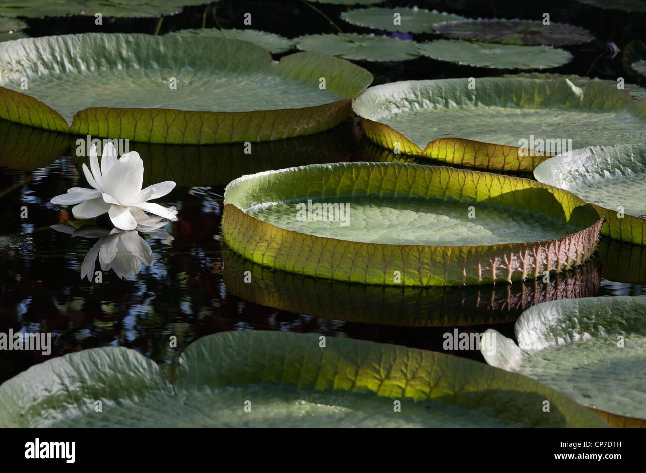 Victoria Cruziana, Riesen-Seerose, weiße Blume, schwimmt auf Wasser unter den Seerosen. Stockbild