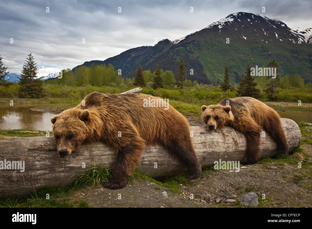 CAPTIVE: Zwei ältere Braunbären lag ausgestreckt auf einem Baumstamm im Alaska Wildlife Conservation Center, Stockbild