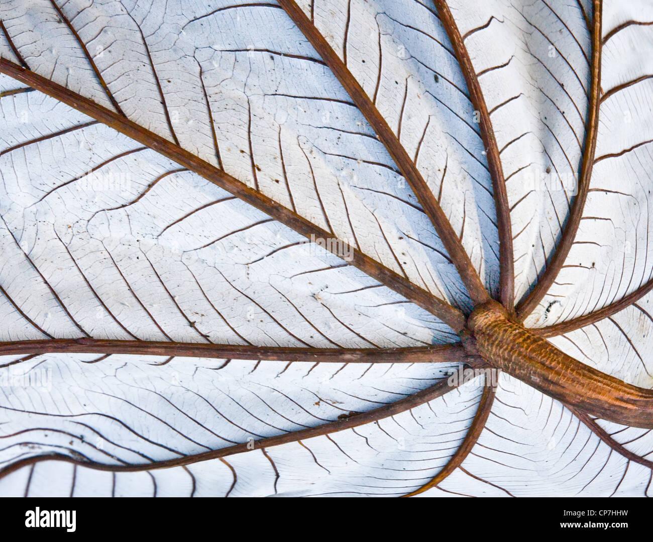 Unterseite des großen Blattes eine Jackfrucht Baum zeigt Regenschirm wie Stamm und Venen und silbernen Unterseite Stockfoto
