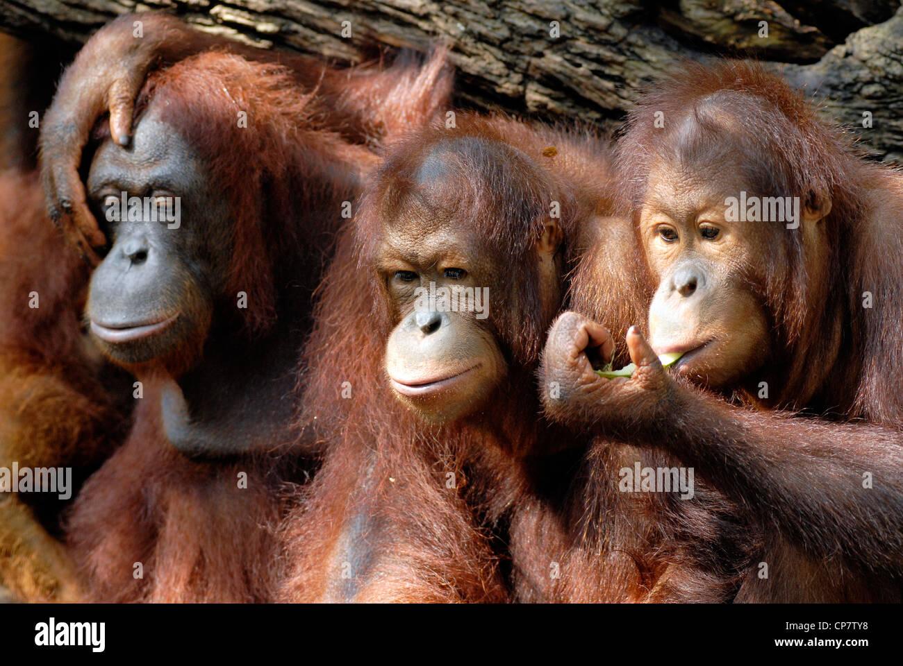Nahaufnahme von einer Gruppe von Orang Utan Teenager teilen etwas zu essen. Stockfoto