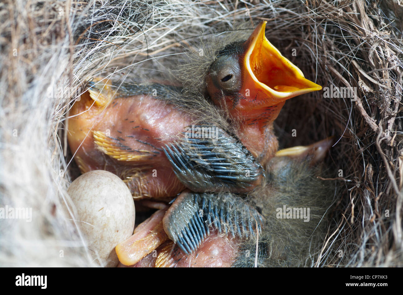 sparrow nest eggs stockfotos sparrow nest eggs bilder alamy. Black Bedroom Furniture Sets. Home Design Ideas