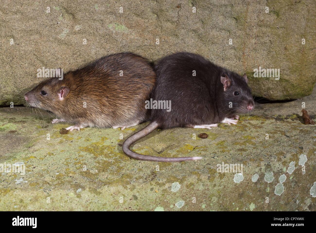 "Brown-Ratten (Rattus Norvegicus). ""Schwarzen"" oder Melanisic Form rechts neben eine ""normale"" Stockbild"