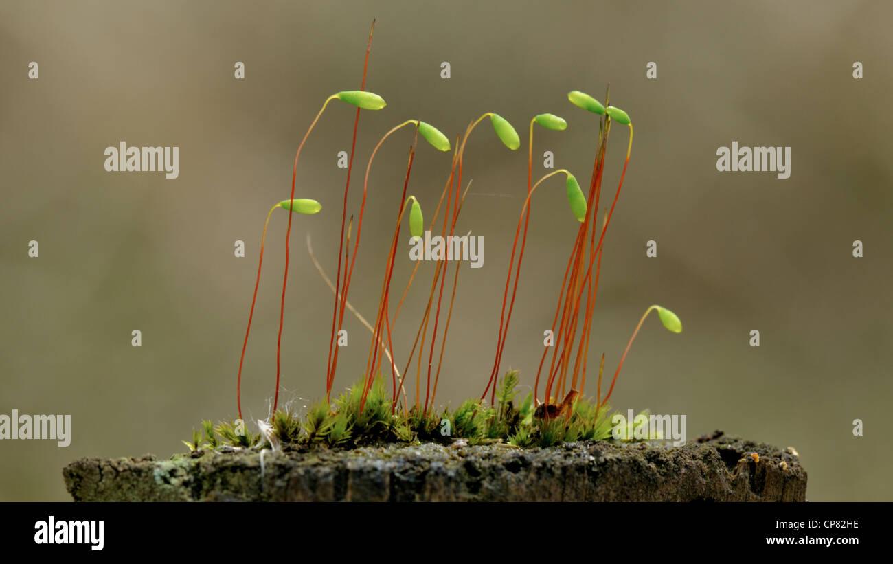 Lieblings Moossporen Stockfotos & Moossporen Bilder - Alamy #IG_53