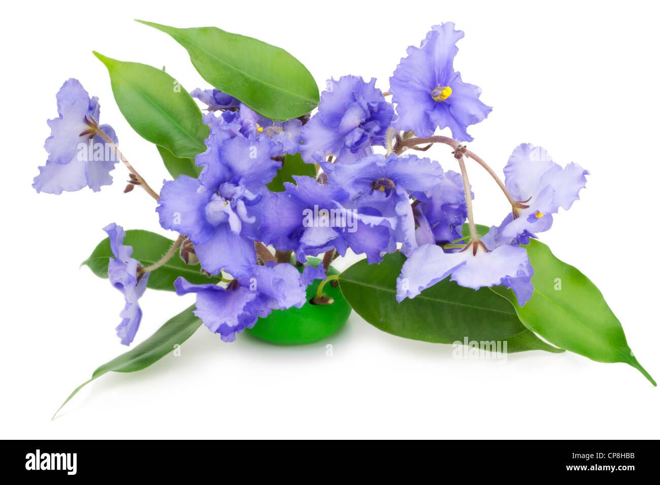 Sanfte blaue Veilchen Blumen isoliert auf weiss Stockbild