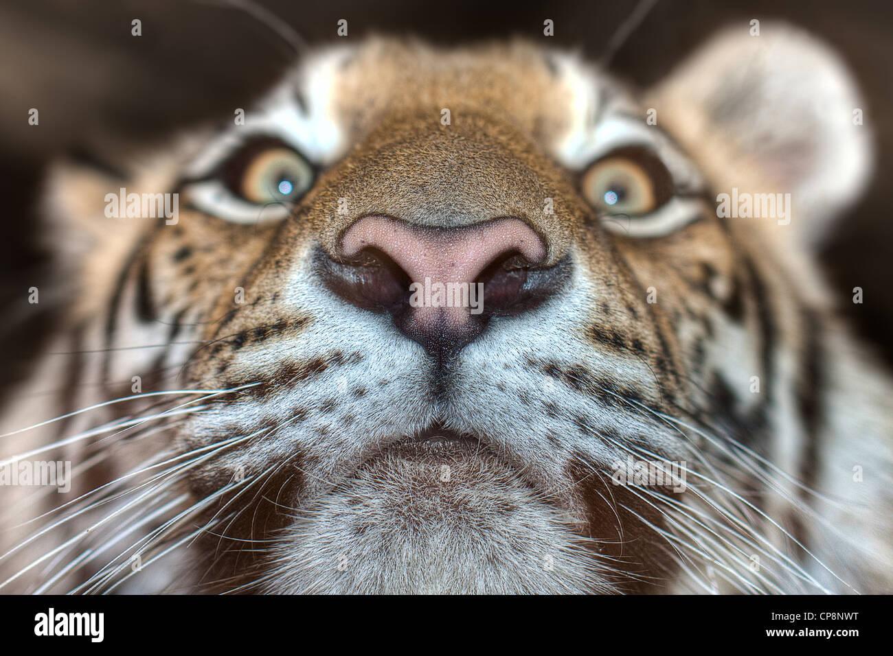 tiger breath stockfotos tiger breath bilder alamy. Black Bedroom Furniture Sets. Home Design Ideas
