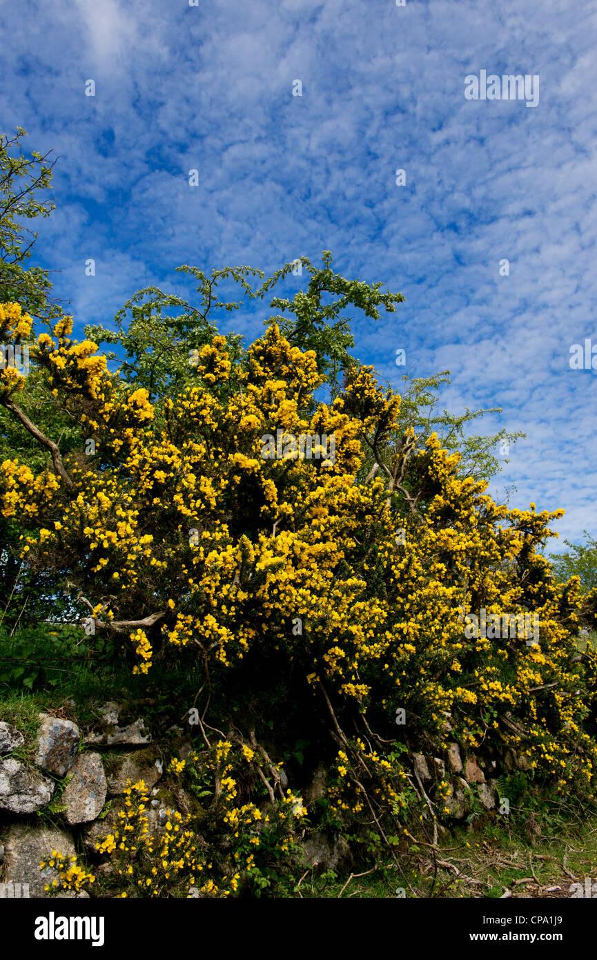 Ulex Europaeus. Blühender Ginster in der Devon-Landschaft. UK Stockbild