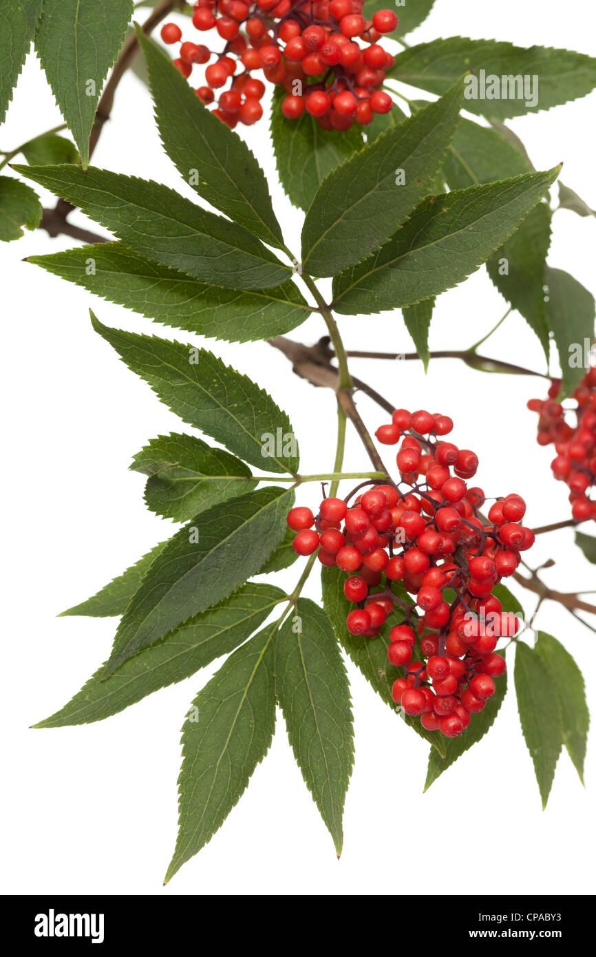 Zweig mit Blatt und roten Früchten lila Stockbild