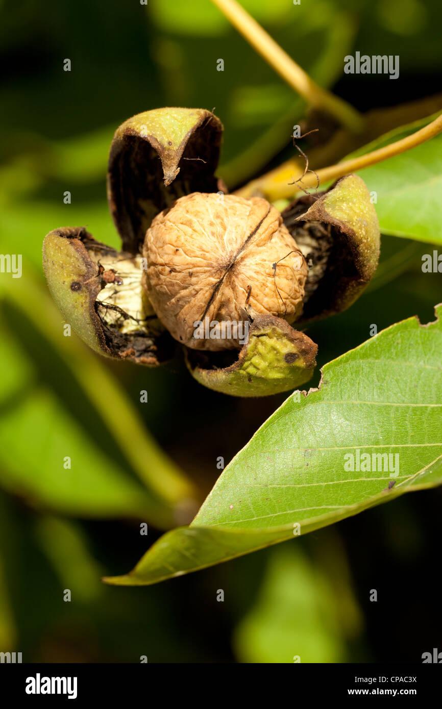 Walnuss Zweig mit reifen Früchten Stockbild
